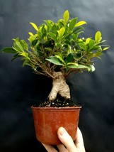 Ficus microcarpa Bonsai - A special tree - Very old plant - $178.10