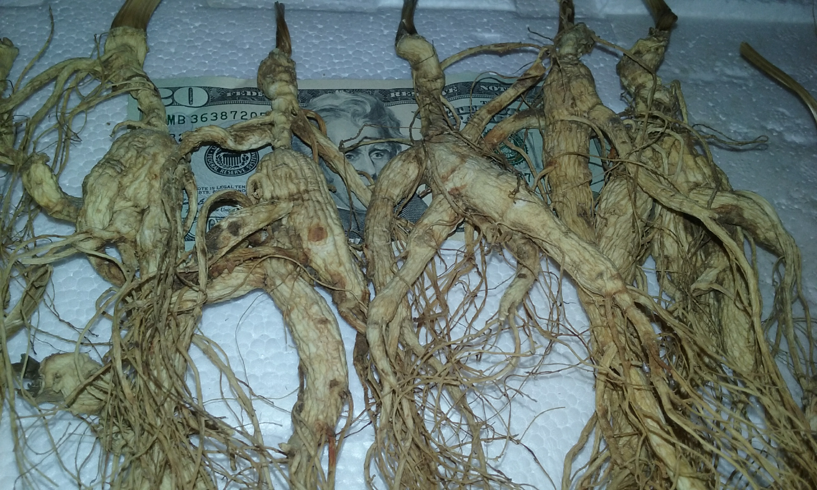 ALL BIG WILD WISCONSIN GINSENG ROOT 15-50 YEAR LONG NECK 448 GRAMS SUPER STRONG