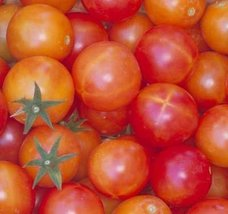 2000 Seeds of Isis Candy - Tomatoes Fruited - $59.40