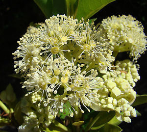 Primary image for 20 Hydrangea Serratifolia Canelilla Vine Seeds