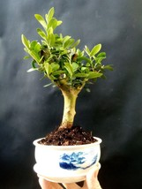 Olive tree Bonsai - Special plant - From the private collection - $98.01