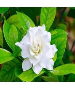 GARDENIA FRAGRANCE OIL - 2 OZ - FOR CANDLE & SOAP MAKING BY VIRGINIA CAN... - $6.16