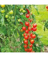 Sweetie Tomato Seeds - 25 Count Seed Pack - Non-GMO - A Prolific Variety... - $2.39