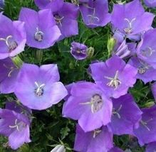 200 fresh seeds tussock bellflower campanula carpatica - $3.75