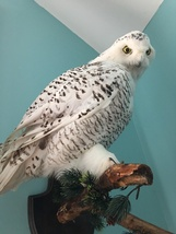 wall hanger taxidermy bird owl white large   - $1,095.00
