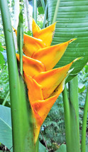 Rare Large Heliconia caribaea Yellow rhizome tropical plant flower banan... - £14.21 GBP