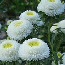 50 Aster Pompon (White) Seeds - $6.93