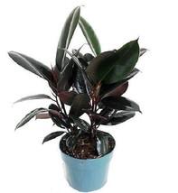 """Burgundy Rubber Tree Plant Ficus 6""""Pot Garden Outdoor Indoor Best Gift H... - ₹1,752.97 INR"""