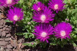SHIP FROM US 25 STARDUST ICE PLANT Mesembryanthemum Delosperma  Seeds SBR4 - $14.00