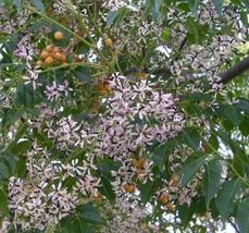 1 Packet of 10 Seeds Chinaberry Tree - Sapindales Meliaceae Plantae - $10.65