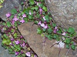 SHIPPED FROM US 200 Kenilworth Ivy Ivy-Leaved Toadflax Vine Flower Seed,... - $19.00