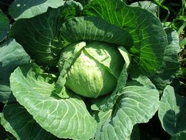 SHIPPED From US, Late Flat Dutch Cabbage Seeds, 8500 SEEDS RM - $32.99
