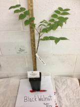 Black Walnut tree native quart pot  image 7