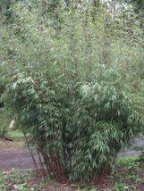 50 Fargesia sp scabrida Clumping bamboo USA SELLER - $9.98