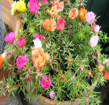 Home Garden Mixed Mexican-rose Sun Plant Portulaca Moss Rose-100seeds/pack - $2.79