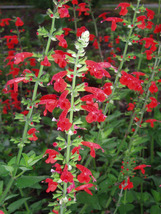 1,000 Seeds - Scarlet Sage Native Wildflower - $4.99