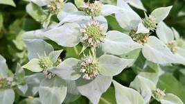 Native Whorled Mountain Mint, Pycnanthemum verticillatum, Pollinator mag... - $3.75
