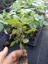 "1 ""Nachez"" Thornless Blackberry Plant. - Outdoor Living - free shipping - $39.99"