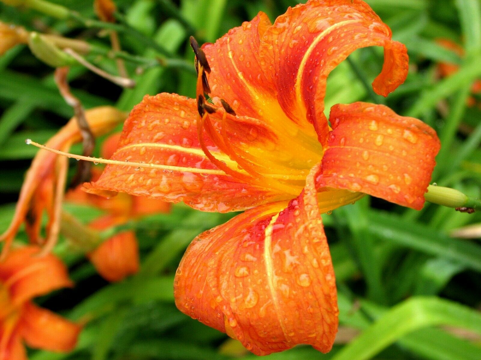 10 WILD DAYLILY fans/root systems