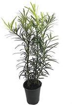 Podocarpus Macrophyllus - 3 Live 4 Inch Pots - Japanese Yew - Low Maintenance Ev - $42.98