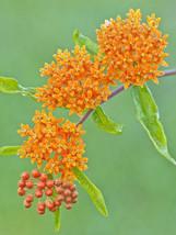 butterfly weed, HUMMINGBIRDS magnet beauty, ORANGE FLOWER, 60 seeds! - $12.75