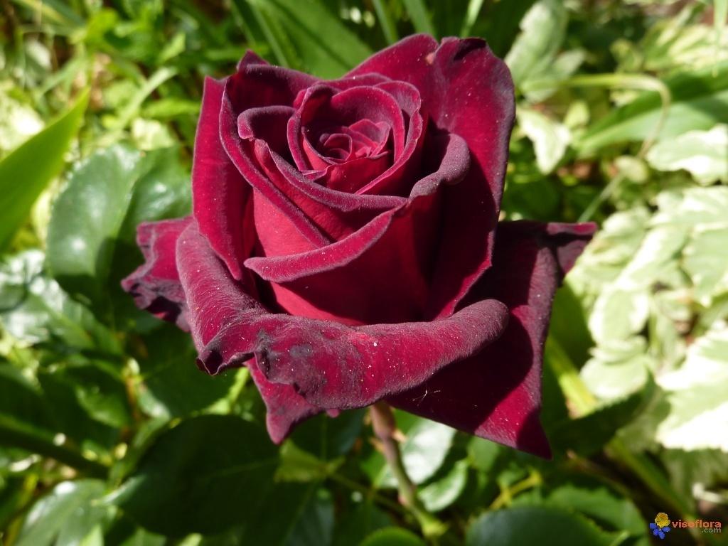 200 Seeds Blood Black Rose Home and Garden HOT SALE!