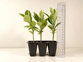 1x Pomelo Plant Fruit Tree (NOT seed), Grapefruit-like Citrus Maxima, Po... - ₹2,602.08 INR