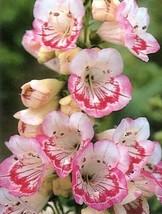 50 Pcs Penstemon Sweet Lips – Perennial H001 - $15.99