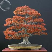 20 Seed Northern Sugar Acer Japanese Maple Tree, DIY Beautiful Tree DO - $8.99