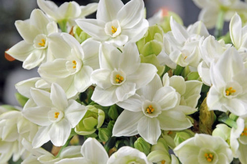 SHIPPED From US_Narcissus 'Ariel' Paperwhite, Tazetta Daffodil 25 Seed-WB