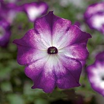Radiant Blue Petunia Plants Flower Seeds 100 Seeds/Pack Very Beautiful in Spring - $5.90