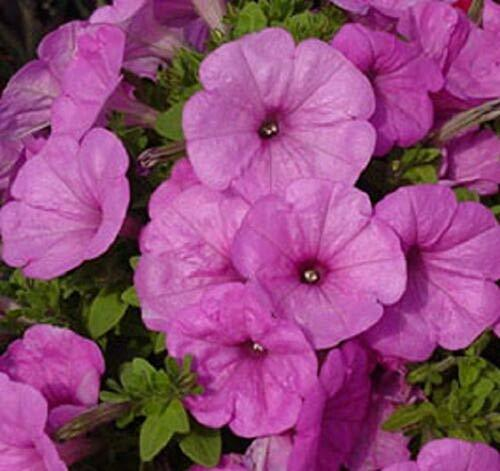 Primary image for 50 Petunia Seeds Trailing Lilac Pelleted Seeds Petunia Does Better in Rain TkMor