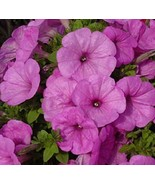 50 Petunia Seeds Trailing Lilac Pelleted Seeds Petunia Does Better in Ra... - $51.48