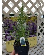 "Rosemary Officinalis Live Plant 8-10 INCHES TALL 3.5"" POT - $23.82"