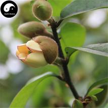 Buy Michelia Figo Tree Seeds 30pcs Plant Michelia Figo Chinese Han Xiao ... - $5.99