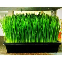 Wheatgrass, Wheat/Cat Grass, Sprouts, 240 Seeds #GRC98 - $14.17