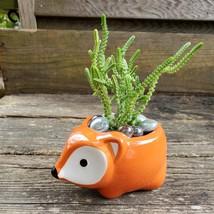 """Succulent in Fox Planter, Live Plant Watch Chain Crassula muscosa 5"""" Orange Pot image 3"""