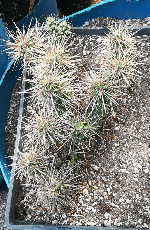 Grusonia emoryi Gold Spines Well armed Ground Creeper Cactus Whole Plant