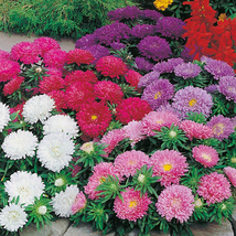 50 Seeds of Annual Seeds - Aster Color Carpet Mix  - $17.90