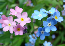 100 Pcs Seeds Myosotis Forget Me Not Pink Blue White Mixed Flower - DL - $16.00