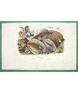 FISHES Flounders - SUPERB H/C Color Antique Print - $11.47