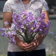 Elegance Lavender Sweet Pea Seed, Sweet Peas Flower Seeds - $21.00