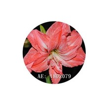 HAPPY FLOWER 2 Bulbs JATIMULYO True Hippeastrum Rutilum Amaryllis Love S... - $1.79