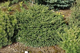 7 Year PLANT of Picea Abies Mucronata - $356.40
