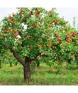 Fuji Apple, Malus pumila Fuji, Tree Seeds (Fast, Hardy) TkPlus1 - $21.78