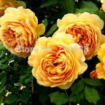 Yellow rose golden 1 thumb200