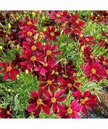 Flower Plant - Coreopsis 'Red Satin' - Tickseed - Perennial Plant - Gard... - $41.58