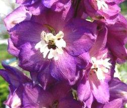 Delphinium Astolat Delphinium Cultorum - 50 Bulk Seeds - $24.49