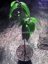 Thai Maprang Bouea macrophylla Anacardiaceae 1 Live tree 12 inch ThailandMrk - $25.00