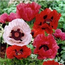500 Poppy (Orientale) Mixed Colors Seeds - $6.93